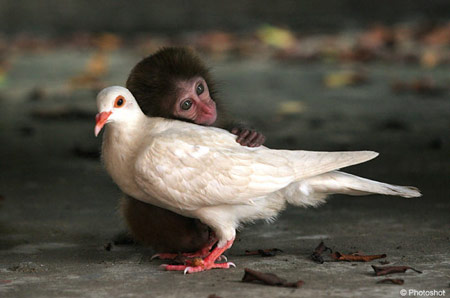 monkeypigeon