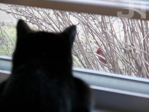 cat and cardinal