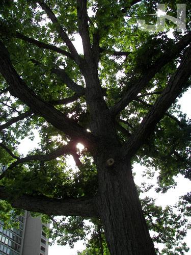 charter oak grandchild
